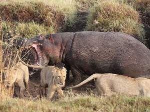 4 aslanın arasında kalınca...