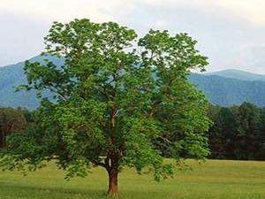 Ceviz ağacının altında neden oturulmaz? Cevizin faydaları