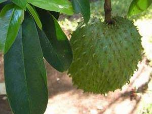 Guanabana meyvesi kanser hastalarına umut oldu