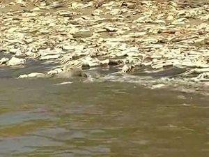 Binlerce mürekkep balığı sahile vurdu