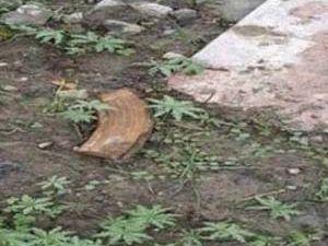 PKK'lıların bahçesinden hint keneveri çıktı