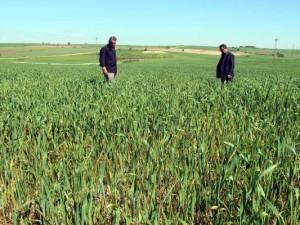 Edirne'de buğday ekili tarlalarda virüs alarmı