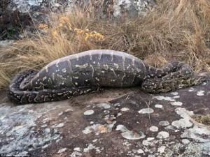 Piton yılanı papağanı canlı canlı yedi