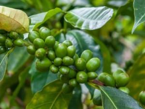Yeşil kahve bakın nelere iyi geliyor