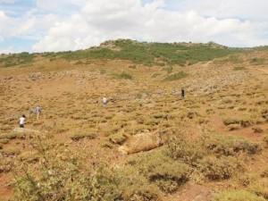 Kurtlar 31 kurbanlık koyunu telef etti