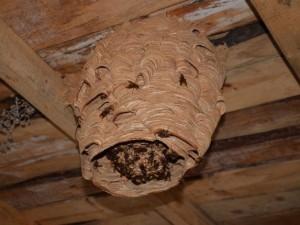Katil arıların kovanı görenleri şaşırtıyor