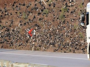 Binlerce kuş yolu kapattı !