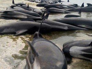 Yüzlerce balina telef oldu!