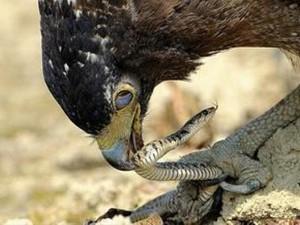 Vahşi doğada büyük kapışma