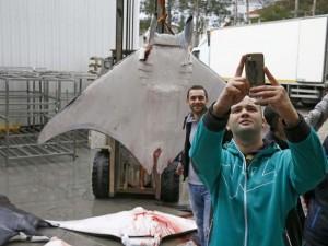 İzmir'de balıkçılara vatoz sürprizi