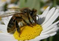 Arıların ölüm nedeni belirlendi