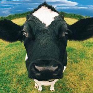 Memesiz inek görenleri şaşırtıyor !