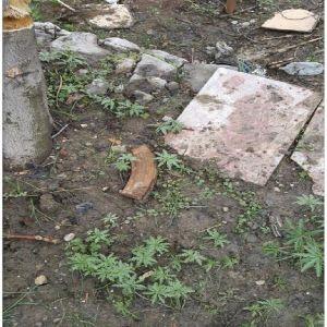 Şırnak'ta Pkk'lıların Kullandıkları Bir Evin Bahçesine Hint Keneviri Ekmiş