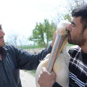 Yaralı Pelikana Çiftçi Şefkati