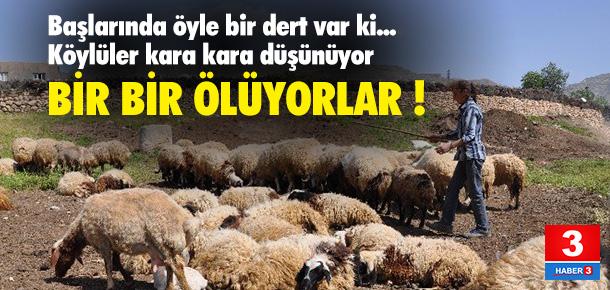 15 günde 250 koyun telef oldu
