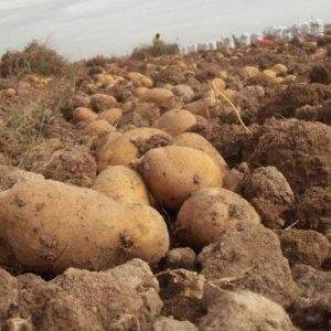 Çiftçiler patatesi tarlada bıraktı !