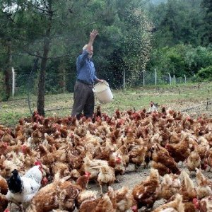 'Tavukların efendisi' adeta para basıyor !