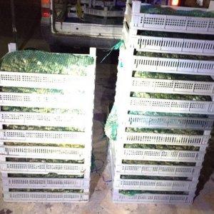 500 kilo kaçak kurbağa ele geçirildi