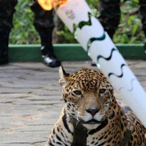 Olimpiyattaki jaguar öldürüldü