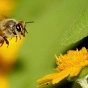 Dünya bu arıların peşinde ! Düzce'de yetişiyor