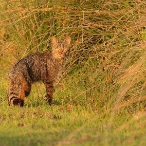 Yaban kedisi Longoz'da böyle görüntülendi