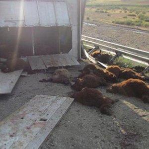Kurbanlık taşıyan TIR devrildi: 135 koyun telef oldu