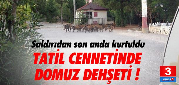 Tatil cennetinde domuz paniği
