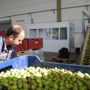 Zeytin üreticisinin tadı kaçtı