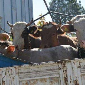 Polisin durduğu kamyonetten çalıntı inek çıktı