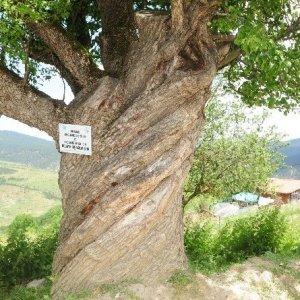 Burgulu ağaç görenleri şaşırtıyor