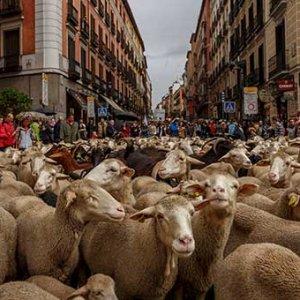 İspanya'da koyunlar şehre indi