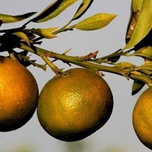 Ukrayna, 29 ton mandalinayı geri gönderdi
