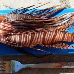 Muğla'da ''aslan balığı'' yakalandı
