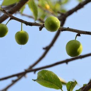 Sakarya'da erik ağaçları meyve verdi