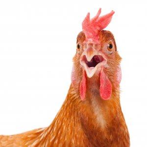 Yıllardır yamyam tavuk yiyoruz