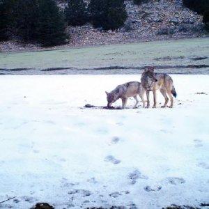 Nesli tükenmekte olan kurt için başarılı çalışma