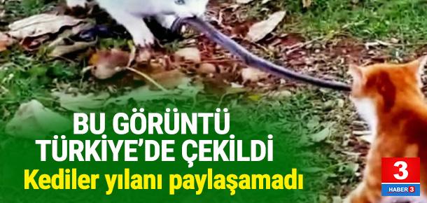 Kediler yılanı paylaşmak istemeyince...