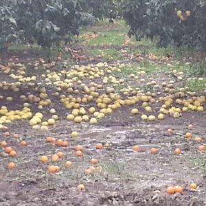 Dolu yağışı meyve bahçelerini etkiledi