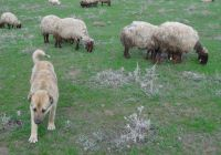 Koyun Sürüsü Karabaş'a Emanet