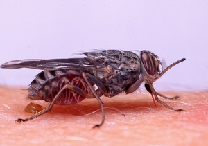 06348-tsetse-fly-biting-white-background.jpg