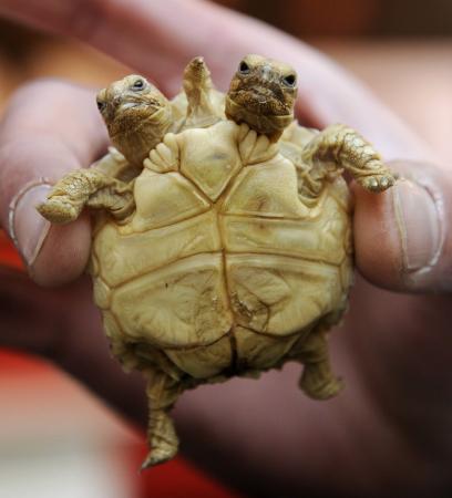 Iki Kafalı Kaplumbağa şaşkına çevirdi Avrupa