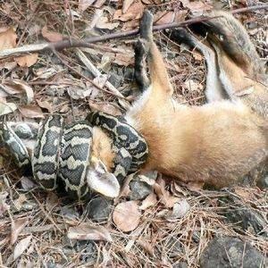 Yılan tilkiyi böyle avladı !
