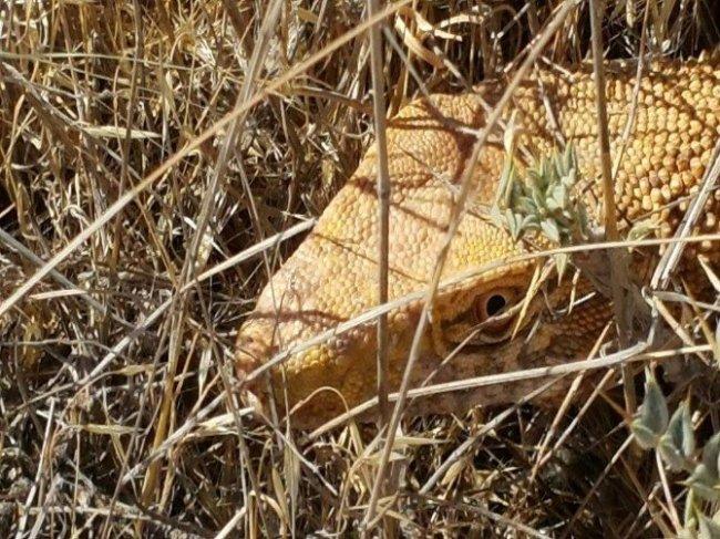Nesli tehlikede olan çöl varanı Şanlıurfa'da görüntülendi
