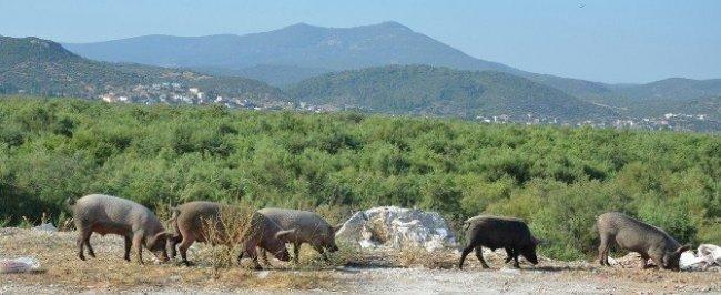 Aydın'da domuz istilası