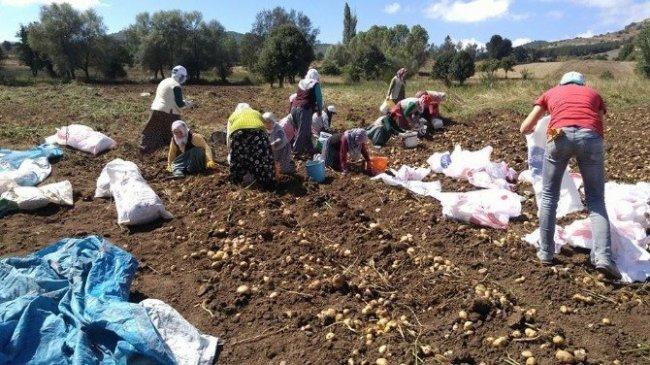 Türkiye'de bir ilk ! Beyaz patates üretilecek