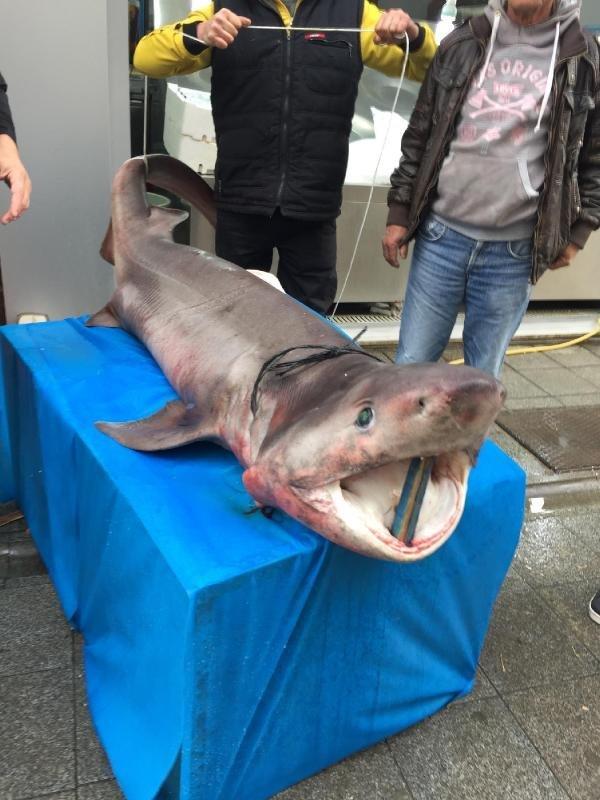 Darıca'da 3.5 metrelik köpek balığı yakalandı