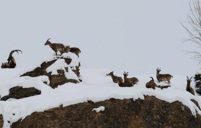 Dağ keçileri vadilere inmeye başladı