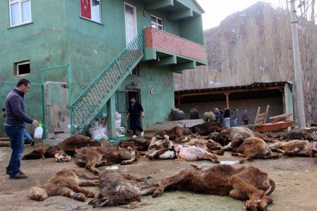 Çoban ilgilenmeyince açlıktan telef oldular